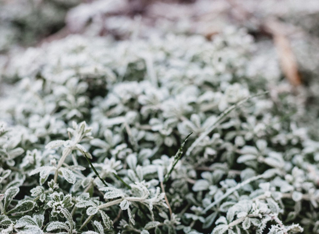 plants frosted over in the winter
